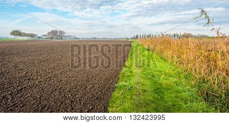 A recently plowed and crumbled field beside a green grass red and yellow and orange colored ripening forage maize and reed in the fall season. Some reed plants are extra large and stand out.