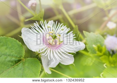 Romantic Nature Wild Grass Flower,passiflora  With Rain Drop, Gentle White Petal With Yellow And Gre