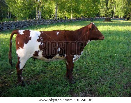 Young Bull At Spring.