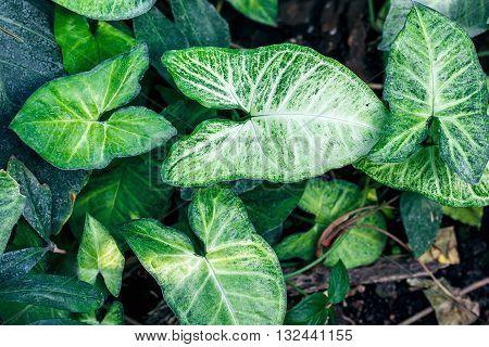 Nephthytis' beautiful leaves (Syngonium podophyllum cv 'White Butterfly') often grown as house plants