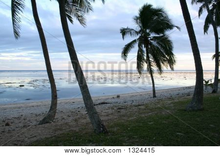 Pacific Palm Tree