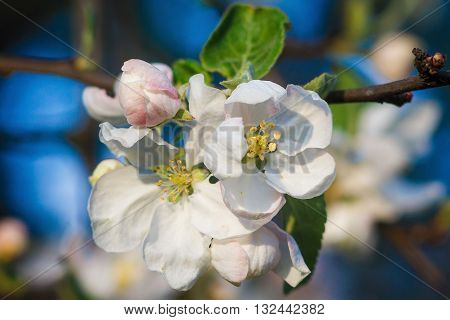 Beautiful flowers on the apple tree in nature. Apple blossoms in spring