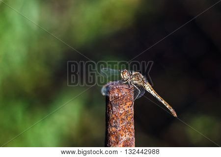 Dragonflies insects animals nature macro Dragonfly outdoor - selective focus.