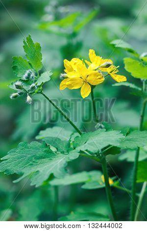Greater celandine (Chelidonium majus, tetterwort, nipplewort or swallowwort)