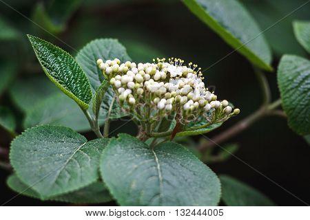 Fresh elderflower blooming in garden. Sambucus nigra; (Black Elder; European Elder; European Elderberry; European Black Elderberry; Common Elde)