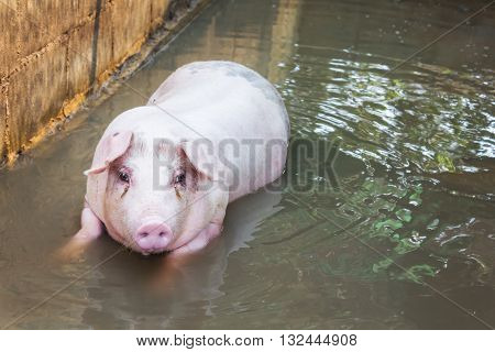 Single big pig playing in water pig in water in hoven