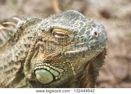 Grand Cayman Blue Iguana, an endangered species of lizard. Portrait of green iguana. Iguana wildlife. Closeup of a green Iguana. Green Iguana Reptile.