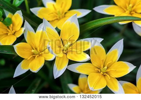 Yellow and White Tulip blossoming in garden on natural background (Tulip Tarda, late tulip). Beautiful bouquet of tulips. colorful tulips. tulip in the spring field.
