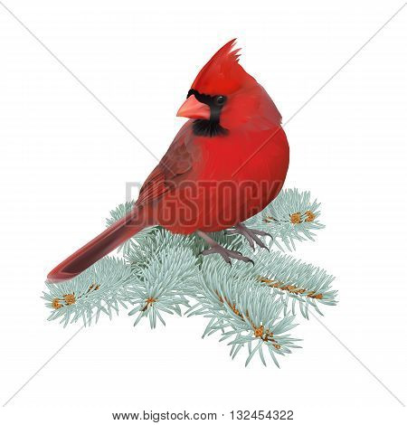 Northern Cardinal. Hand drawn vector illustration of a male Northern cardinal perched on a spruce twig.Transparent background, realistic representation.