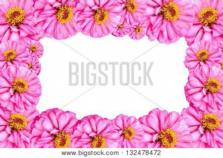 pink Zinnia angustifolia flower on white background