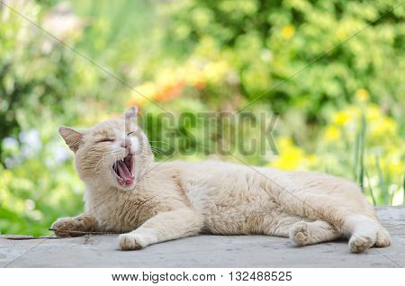 The old cat lies on a cement slab and yawns, bright spring background, bokeh