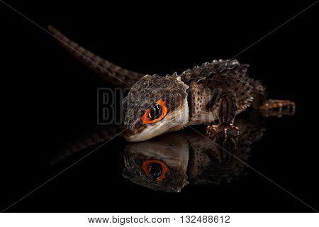 Closeup Red-eyed crocodile skink tribolonotus gracilis isolated on Black background