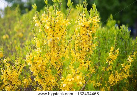 nature, botany and flora concept - close up of forsythia bush with yellow flowers in spring garden