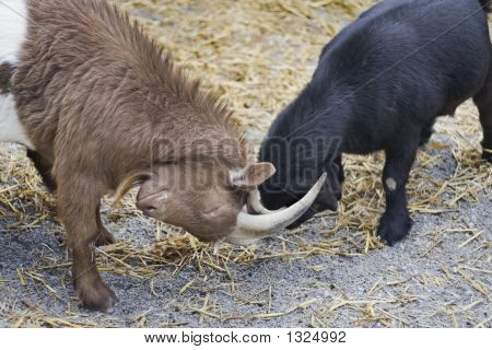 African Goats Playing