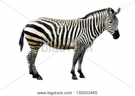 Portrait Of A Zebra On White Background