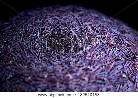 macro echinocereus rubispinus succulent plant on black background