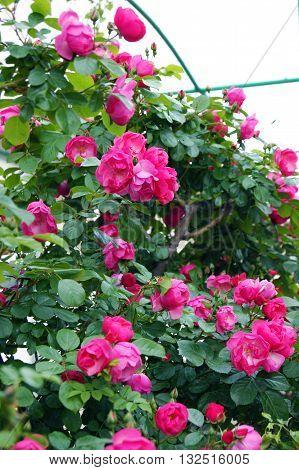 Lush  rosebush with small bright rose flowers