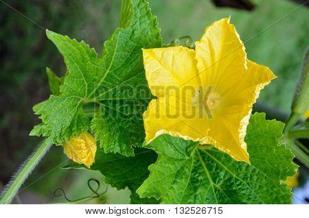 Yellow pistillate flowers of a Benincasa hispida or winter melon blossoming on vine