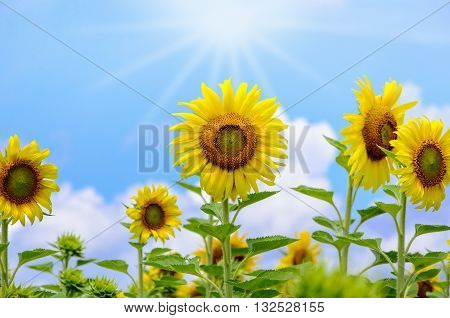 Many yellow flower of the Sunflower or Helianthus Annuus blooming under sunlight and the sun shines in the field on blue sky background