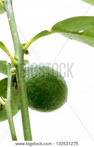 Lemon vegetable very fresh on tree I take a photo in my plant This is a new species of seedless lemons on white background blur.