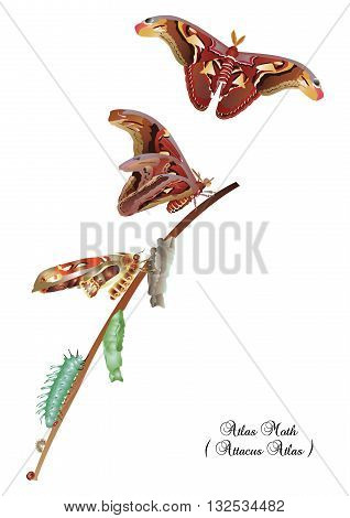 It is illustration of life cycle of atlas moth.
