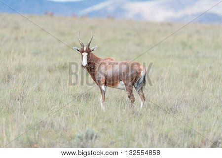 A blesbok Damaliscus pygargus phillipsi looking towards the camera near Cradock in South Africa