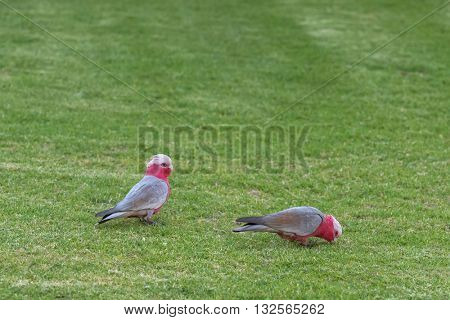 Two Galah birds ( Rose breasted cockatoo ) in gray and pink plumage feeding on the lawn in South Australia