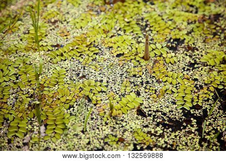 Green floating moss pattern on a swamp surface with copy space. Floating fern in a pond. Dark green background