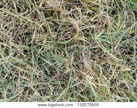 fresh green grass field texture for background