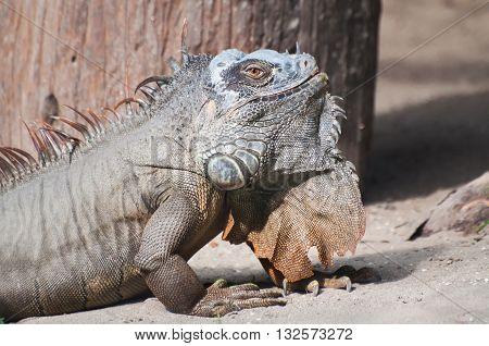 Nice portrait of an Iguana sitting peacefully on ground in daylight Kolkata West Bengal India.