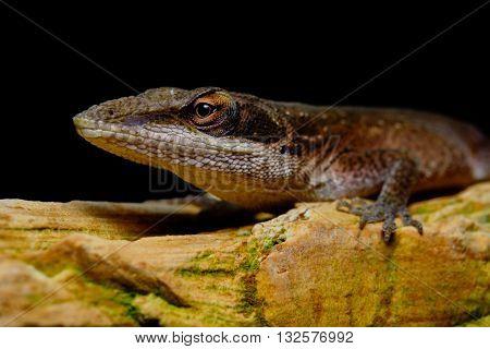 Carolina Anole (Anolis carolinensis) on rock bright eyes black background