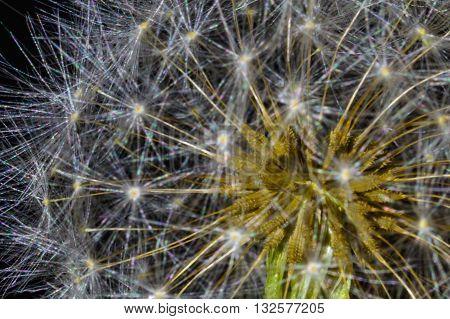 Dandelion Seed head (Taraxacum officinale) close up