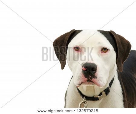 Brown and white american pit bull terrier with brown eyes red sclera of eyes from cold virus