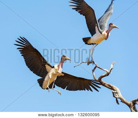 Undertaker Bird