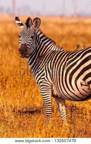 Wild Zebra In An Open Savannah Flood Plain