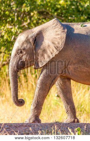 A Baby elephant walking to a waterhole