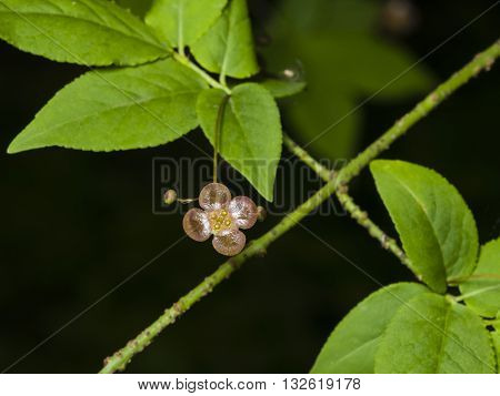 Small flower and buds on Spindle Tree Euonymus Verrucosus macro selective focus shallow DOF
