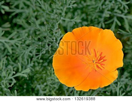 One eschscholzia California poppy orange decorative flower.
