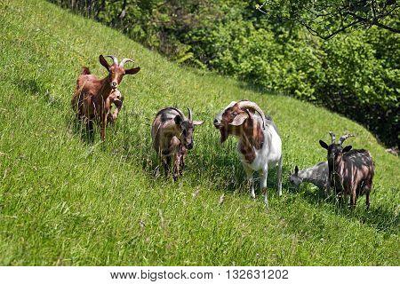 Goats graze on the green summer meadow.