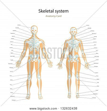 Anatomy guide. Male and female skeleton with explanations. Front view. Vector Illustration.