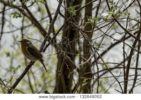 Erithacus rubecula or European robin sing alight on springtime branch, Pancharevo, Bulgaria
