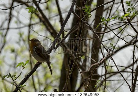 Erithacus rubecula or European robin alight on springtime branch, Pancharevo, Bulgaria