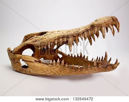 Saltwater crocodile anatomy