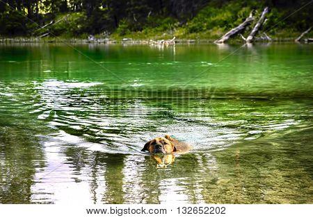 Dog swimming in a mountain lake