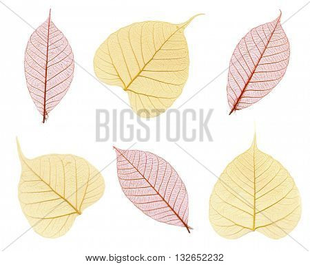 Six skeletons of autumn leaves in maroon and beige isolated on white