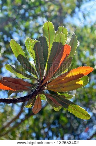 Colorful rainbow of Australian serrated Banksia leaves back lit by sunlight