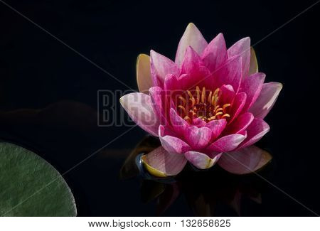 Picture of beautifull pink Waterlily on water