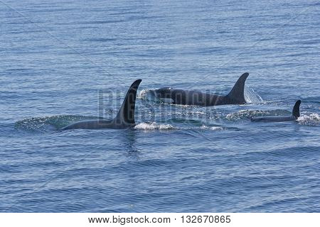 Orca Family Swimming in the Ocean in Prince William Sound near Valdez Alaska