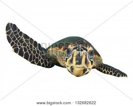 Sea Turtle isolated on white background (Hawksbill Turtle - Eretmochelys imbricata)