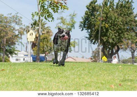 Landscape view of Pit Heeler mix dog running with mouth open.